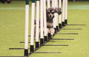 20180310 Copyright Flick.digital.Free for editorial use image, please credit: Flick.digital...Picture shows Agility Crufts Small Team Final , (Saturday 10.03.18), the third day of Crufts 2018, at the NEC Birmingham...Crufts is the world's greatest dog show and this year will see more than 21,000 healthy, happy dogs competing for the coveted 'Best in Show' title as well as taking part in the many other competitions that take place at the show, from Agility and Flyball to the hero dog competition