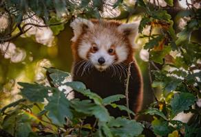 RED PANDA cubs emerge from den at Chester Zoo.