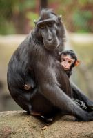 Ep5.  Sulawesi crested macaque Camilla with baby.
